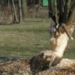Nad Wieprzem mieszkają bobry