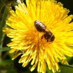 Pszczoły nie maja wakacji
